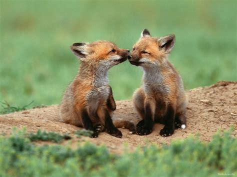 baby fox a cute a day
