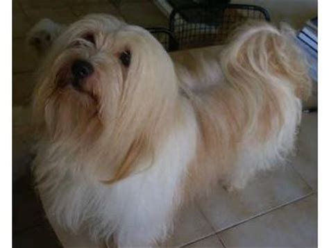 havanese tear stains 36 best images about havanese my favorite breed on theater adoption