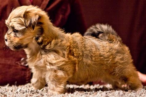 brindle havanese pictures brindle havanese dogs dogs pictures photos pics images gallery breeds picture