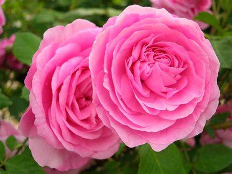 imagenes de paisajes rosas fotos de rosas 120 fotos de calidad 1024 x 768 auto