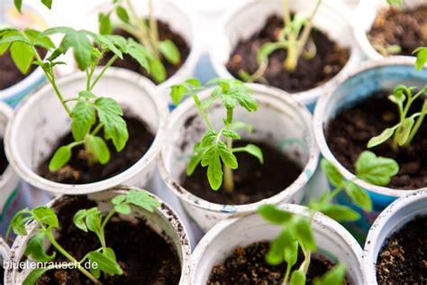 Wie Pflege Ich Tomatenpflanzen 5105 by Tomaten Pflanzen Vorziehen Im Vorfr 252 Hling Bl 252 Tenrausch