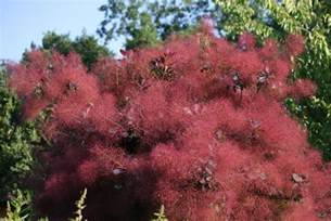 growing a purple smoke bush cotinus coggygria