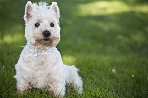 scotty dogs search results for scottie calendar 2015