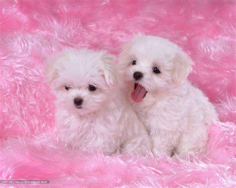 wallpaper pink dog two sweeties puppies white blanket pink dog wallpaper