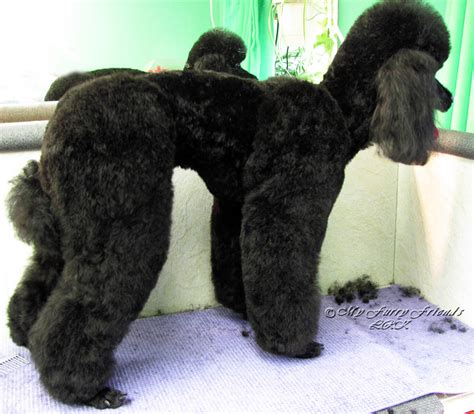 grooming standard poodles cuts pet grooming the good the bad the furry no poodle look