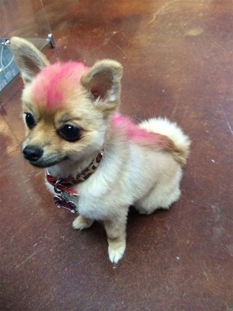 pink pomeranian pink mohawk for foxxy pomeranian hair cut pet pink hair and hyena