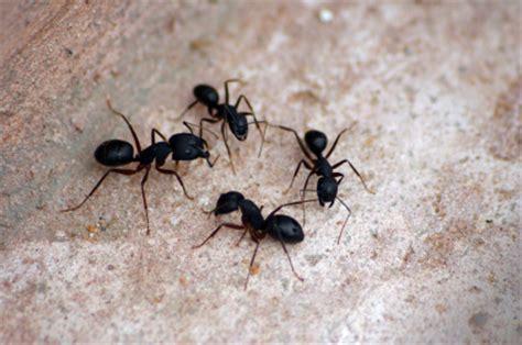 comment se d饕arrasser des fourmis dans une cuisine comment se d 233 barrasser des fourmis r 233 pulsifs et m 233 thodes