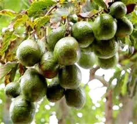 Jual Bibit Anggur Probolinggo jual bibit alpukat di probolinggo jual bibit tanaman