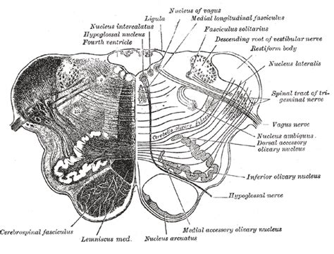 Transverse Section Of Medulla Oblongata by Arcuate Nucleus Medulla