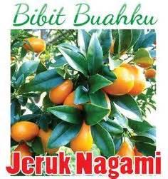 Tanaman Jeruk Nagami Bundar 1 putra garden jual tanaman hias termurah di denpasar