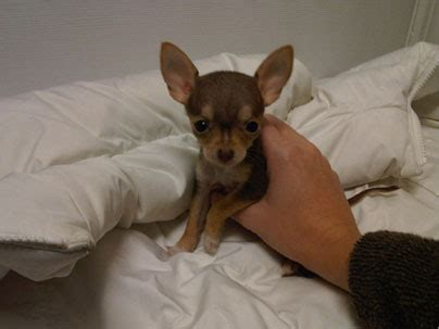 chihuahua puppies for sale ny chihuchuas teacup puppies for sale in westchester new york