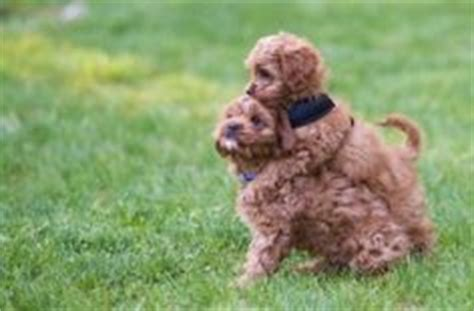cavapoo puppies for sale in va 1000 images about fury friends on cavapoo puppies cavalier king charles