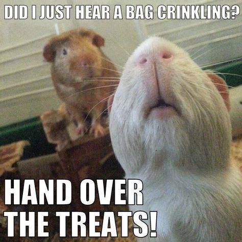 Shaved Guinea Pig Meme - shaved guinea pig meme 28 images guinea pig memes