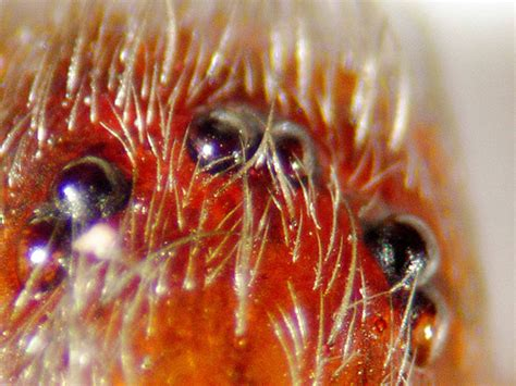 Eye Pattern Of Brown Recluse | eyes of brown recluse spider loxosceles reclusa flickr