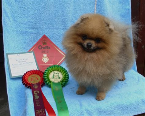 pomeranian agility bill and jean s bilijees what a charmer pip
