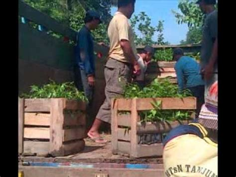 Jual Bibit Sengon Magelang gaharu kuala lipis fragrow holding berhad 1