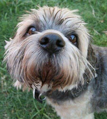 havanese rochester ny 17 best images about up havanese lhasa apso on the
