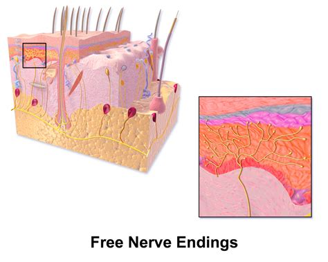 A Free Free Nerve Ending