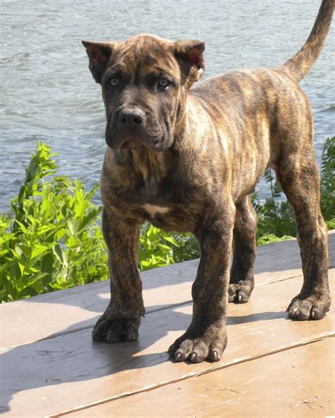 presa canario dogs 1000 images about presa canario corso on coloring pets and boys