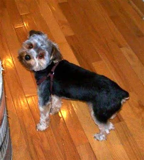 yorkie poo rescue pa animal browse