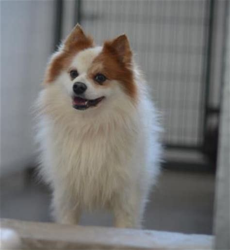 pomeranian colorado 17 best images about pomeranians on chihuahuas puppys and pomeranian dogs