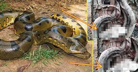 film manusia ular penunggu hutan transtv kebakaran hutan juga musnahkah ular phyton telur dan