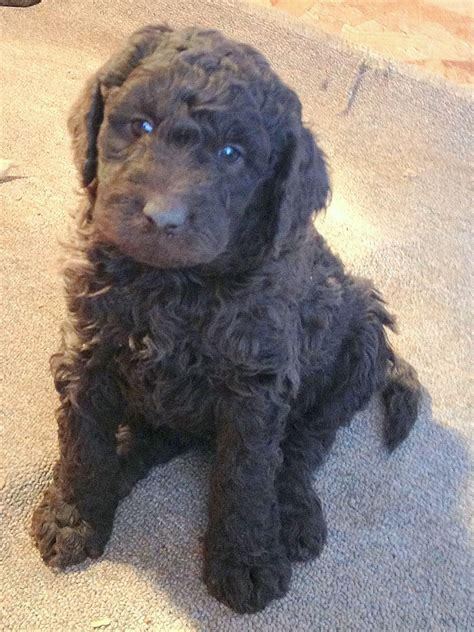 newfoundland poodle mix puppies best newfypoo puppies newfoundland poodle mix call 719 320 7146