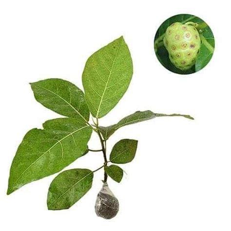 Bibit Tanaman Buah Murbey jual tanaman mengkudu indian mulberry bibit