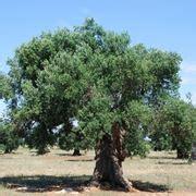 pianta di ulivo in vaso coltivare ulivo in vaso piante in giardino consigli
