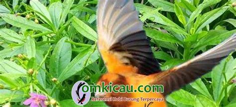 jenis tanaman herbal  baik  kenari  lovebird