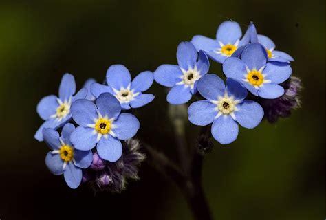 imagenes de flores no me olvides no me olvides plantas y flores pinterest poes 237 a
