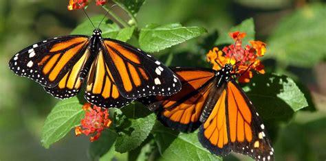 imagenes de mariposas de verdad anuncian esfuerzo millonario para conservar la mariposa