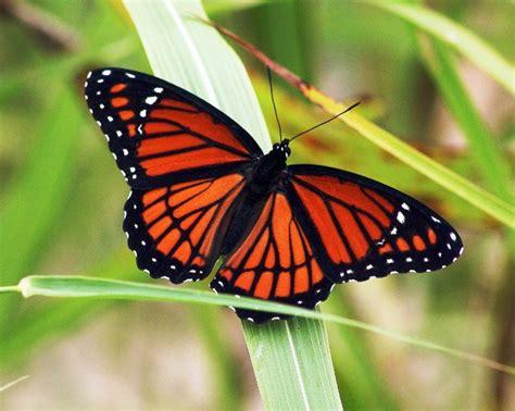 gambar kupu kupu untuk tato gambar kupu kupu yang indah pernik dunia