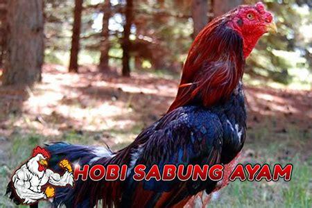 membuat nafas panjang nafas ayam cara membuat jamu agar napas ayam bangkok menjadi panjang