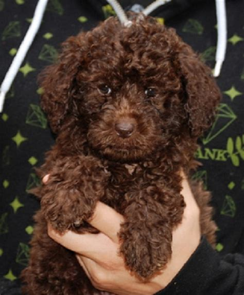 brown labradoodle puppy the gallery for gt light brown labradoodle puppies