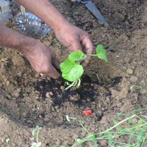 Plantation De Melon by Melon Semer Planter Et Bien Le Cultiver Au Potager