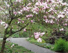 types of magnolia tree with pictures facts about flowering magnolia trees
