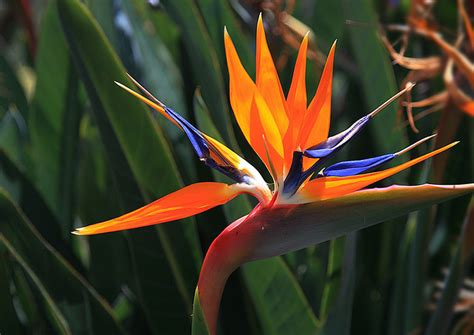 bird paradise flower bird of paradise flower weneedfun