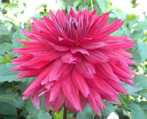 coltivazione fiori fiori dalia fiori delle piante