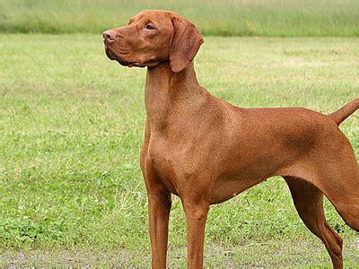 medium sized hypoallergenic dogs calmest medium sized breeds picture