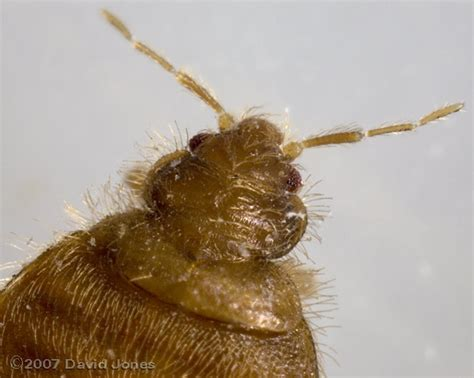 bed bug vs bat bug bed bug vs bat bug 28 images photos bed bugs vs bat bugs pct pest technology bat