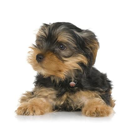spoiled rotten yorkies 1000 images about spoiled rotten yorkie on pets wings and houses