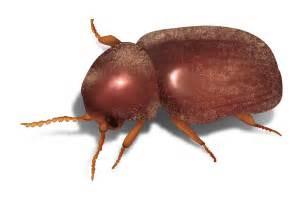 brown beetles in bedroom brown beetles in bedroom crepeloversca