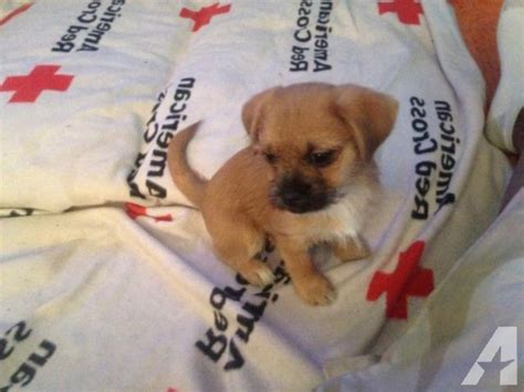 puppies for sale in omaha ne mixed breed lhasa apso and pomerania puppies 11weeks for sale in omaha