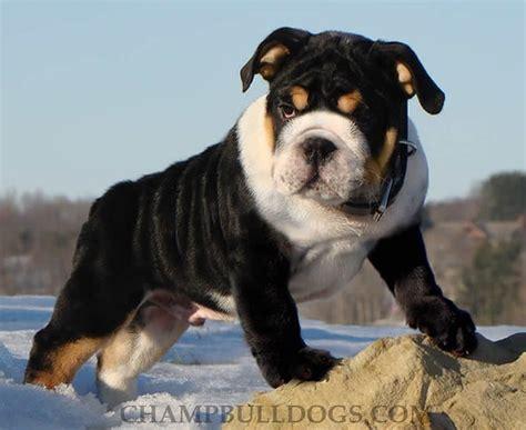 bulldogs colors tri color bulldog rott mix animal