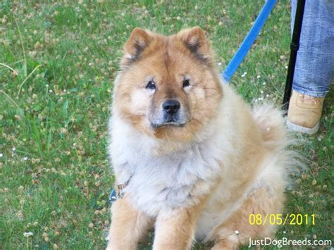 how much are chow chow puppies chow chow breeds