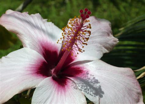 fiore ibisco ibisco il fiore karkad 232 viridea