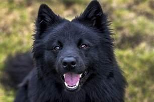 samoyed colors samoyed dogs black dogs colors