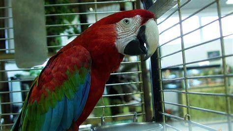 gabbie per pappagalli ara gabbia per pappagalli guida alle dimensioni animali volanti