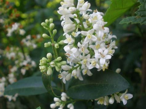 piante sempreverdi con fiori pianta sempreverde piante da giardino caratteristiche